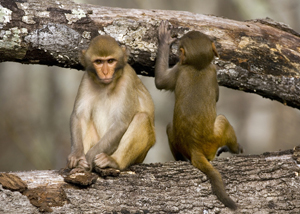 Mating behavior of Rhesus monkeys