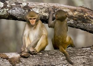 Mating behavior of Rhesus monkeys