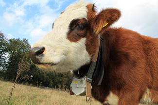 Cow with GPS tracker/accelerometer from Tracklab system