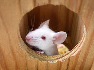 white-mouse-wooden-house-300