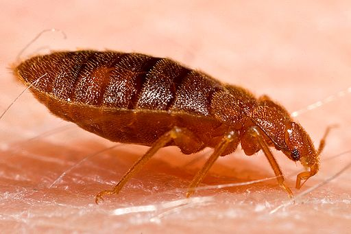 https://commons.wikimedia.org/wiki/File%3AAdult_bed_bug%2C_Cimex_lectularius.jpg