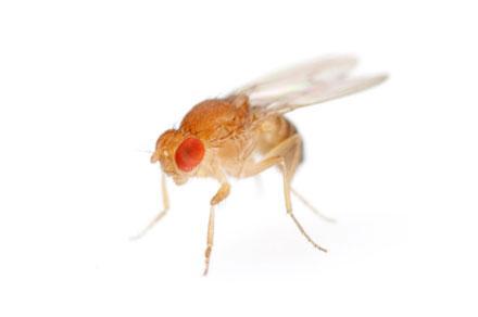 Drosophila3-440.jpg