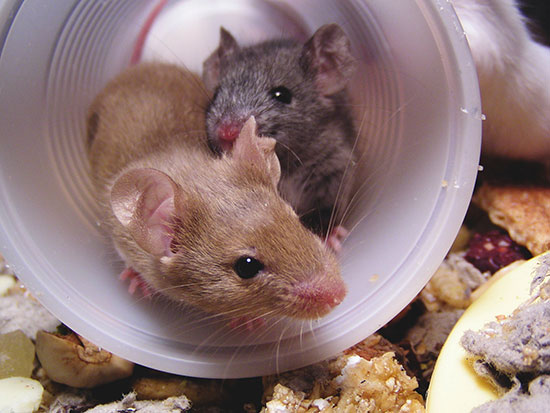Mouse---Brown---Playing-in-tube--550-web.jpg