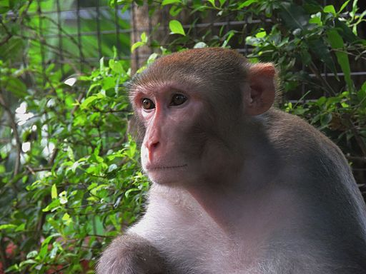 https://commons.wikimedia.org/wiki/File%3ARhesus-Monkeys4.jpg