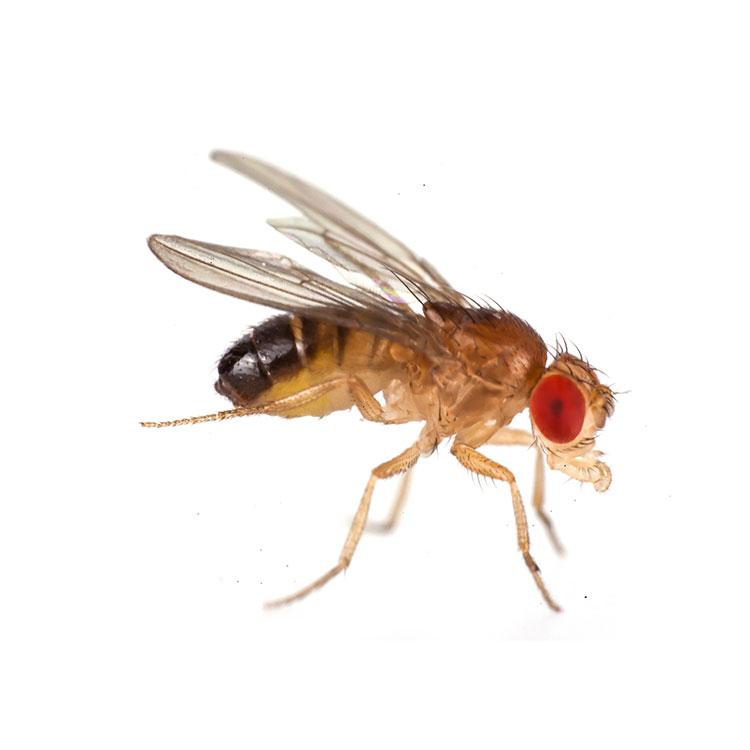 drosophila-bugsinthepicture-750.jpg