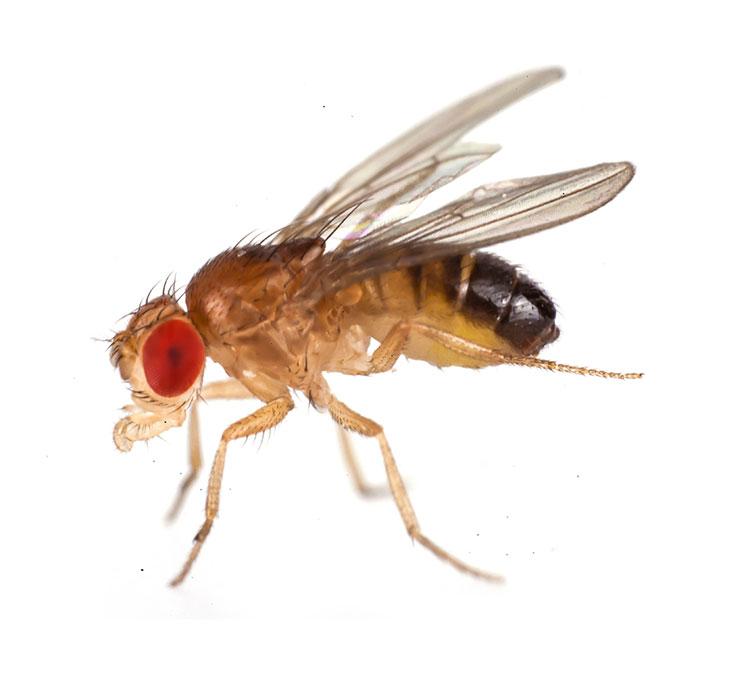 Drosophila - bugsinthepicture