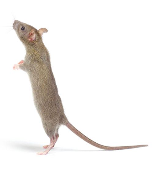 rearing-brow-rat-500.jpg